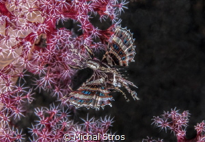 A dwarf lionfish flying over a soft coral by Michal Stros